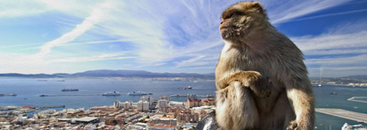 Famous Barbary ape on the top of Gibraltar mountain overseeing the city